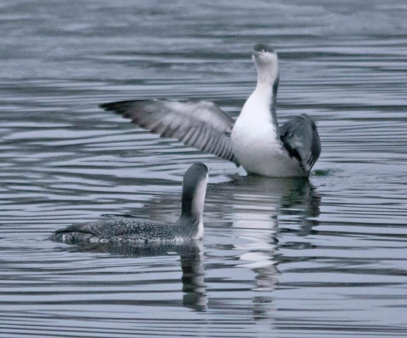 Red Throated Loon 2019-1