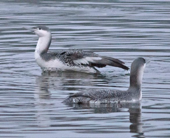 Red Throated Loon 2019-2