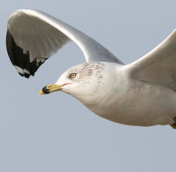 Ring Billed Gull 2019-3