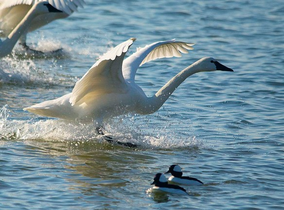 Tundra Swan 2019-11