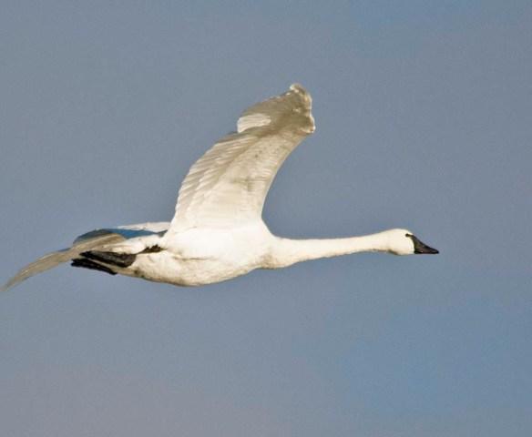 Tundra Swan 2019-7