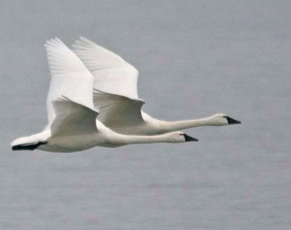 Tundra Swan 2019-8