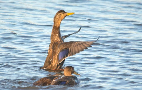 Black Duck 2019-11