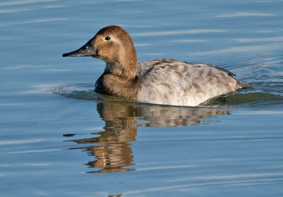 Canvasback 2019-25