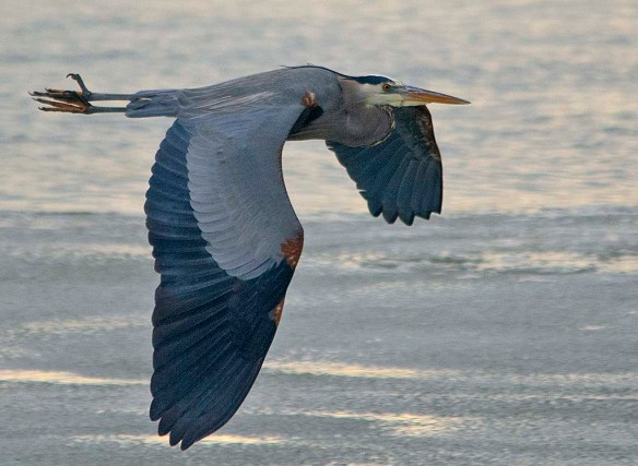 Great Blue Heron 2019-12