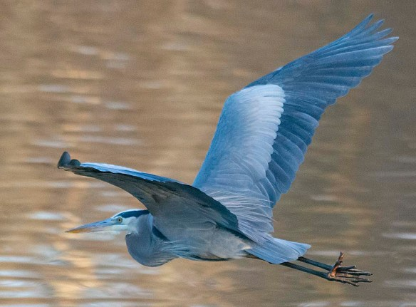 Great Blue Heron 2019-15