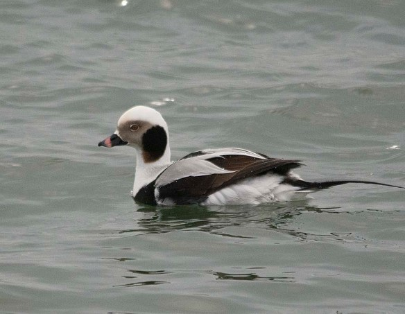 Long Tailed Duck 2019-40