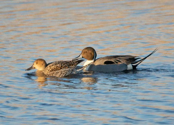 Northern Pintail 2019-3