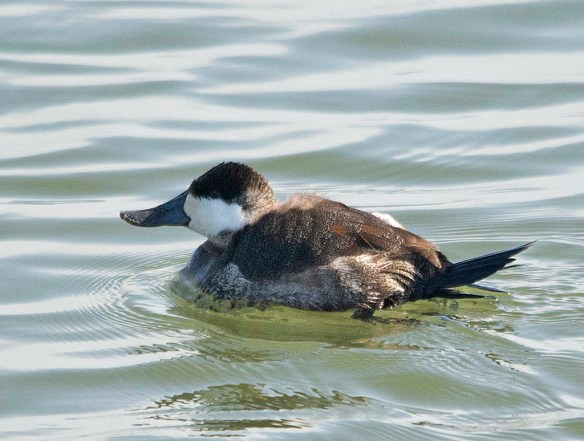 Ruddy Duck 2019-7