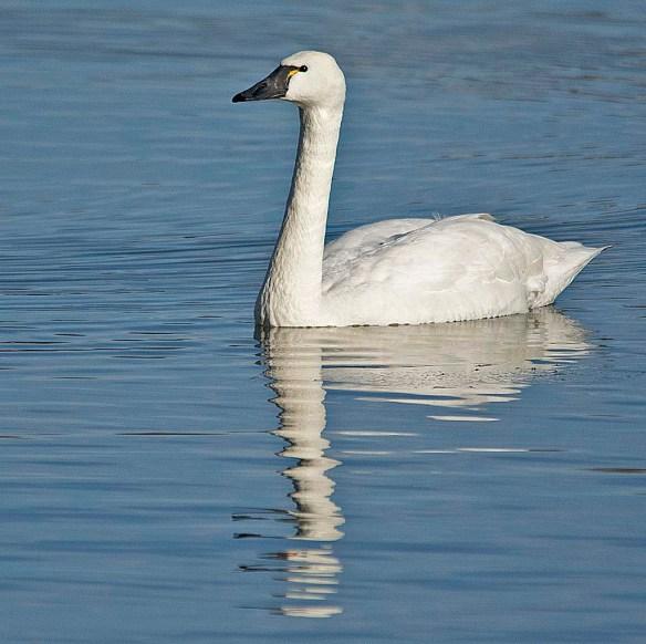Tundra Swan 2019-24