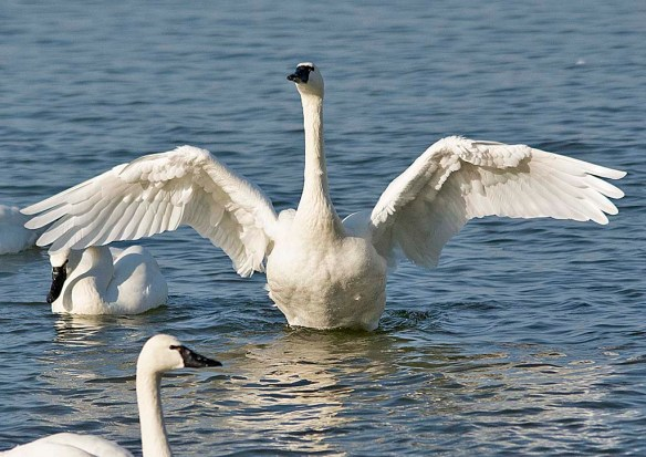 Tundra Swan 2019-27