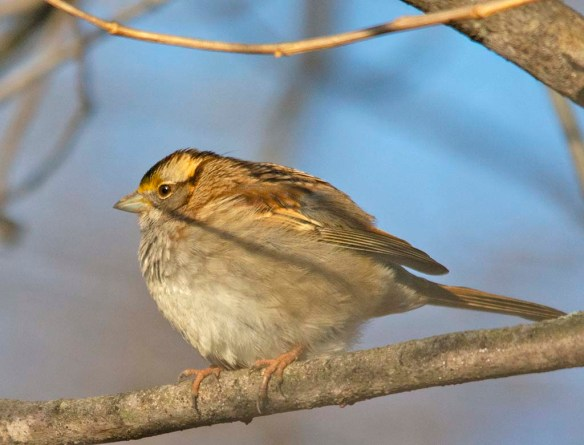 White Throated Sparrow 2019-1