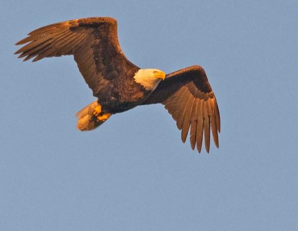 Bald Eagle 2019-12