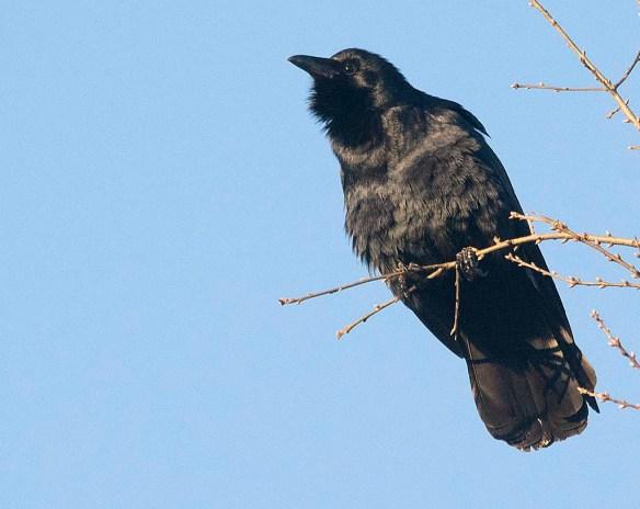 Crow 2019-1
