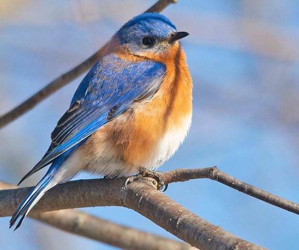 Eastern Bluebird 2019-1