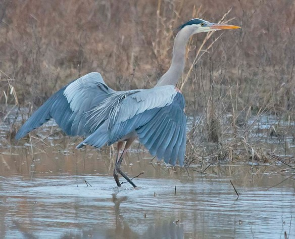 Great Blue Heron 2019-17