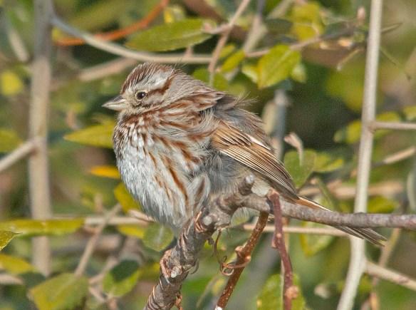 Song Sparrow 2019-5
