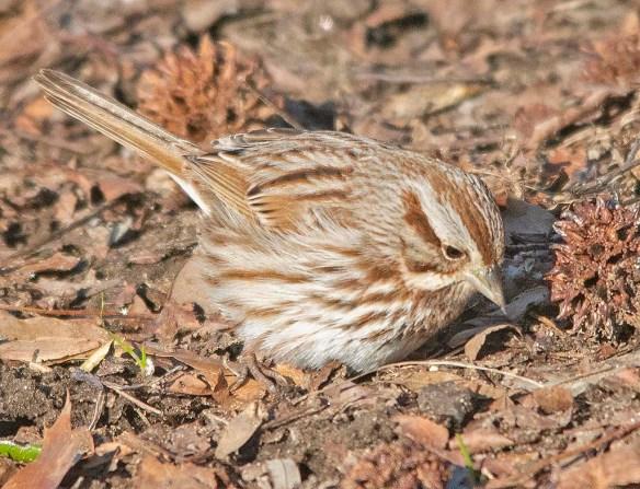 Song Sparrow 2019-6