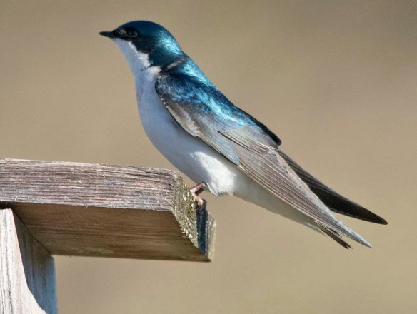 Tree Swallow 2019-2