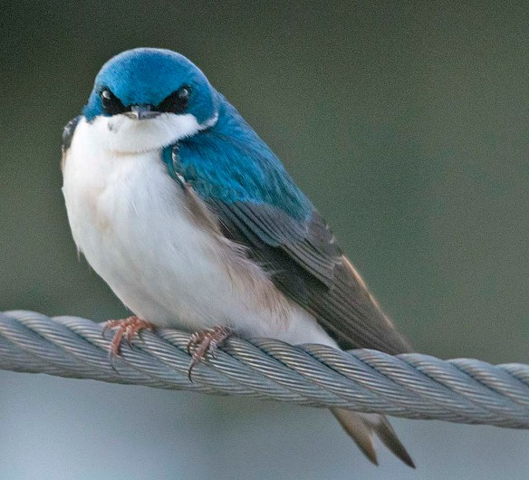 Tree Swallow 2019-3