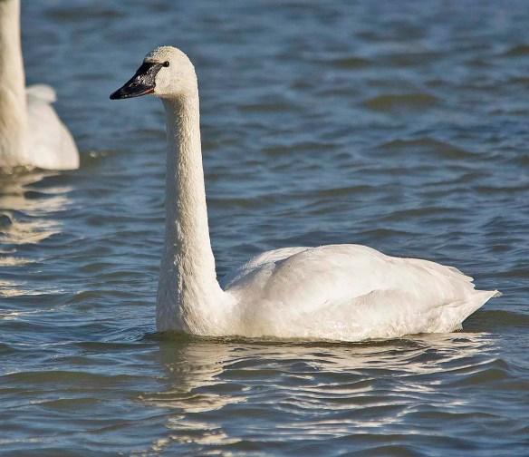 Tundra Swan 2019-30