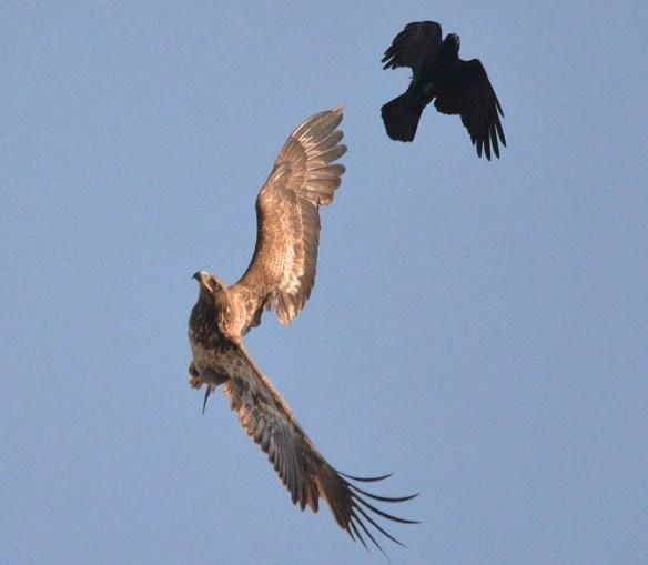 Bald Eagle 2019-16