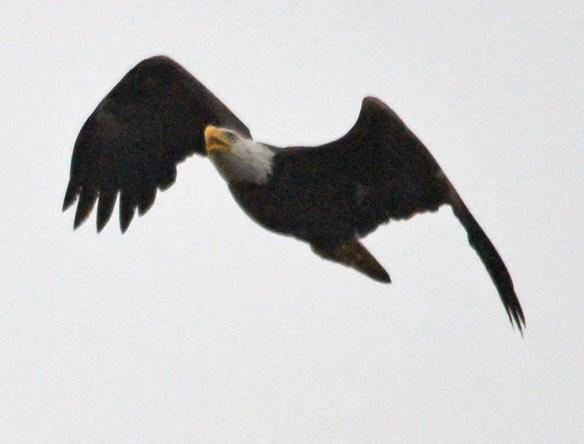 Bald Eagle 2019-21
