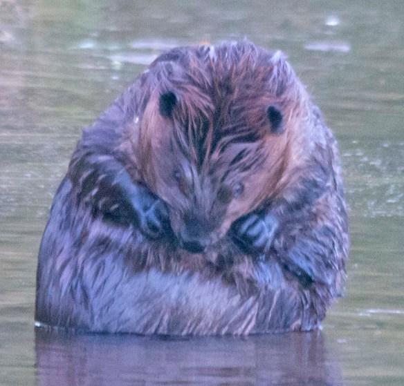 Beaver 155