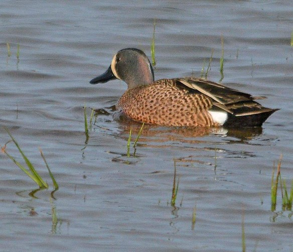 Blue Winged Teal 2019-7