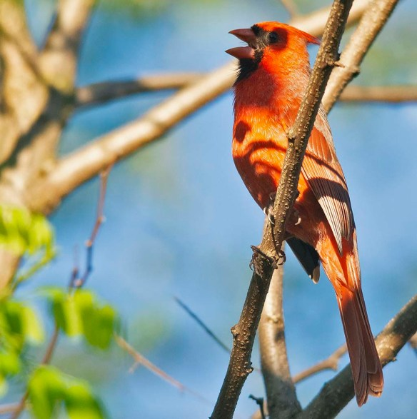 Cardinal 2019-4
