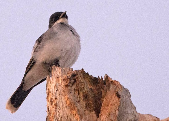 Eastern Kingbird 2019-1