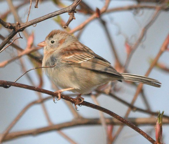 Field Sparrow 2019-1