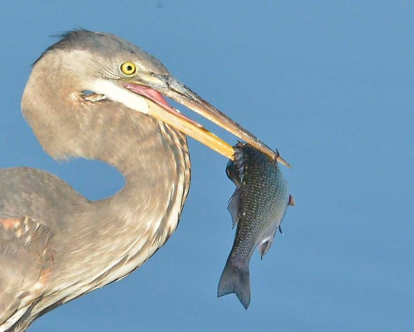 Great Blue Heron 2019-32