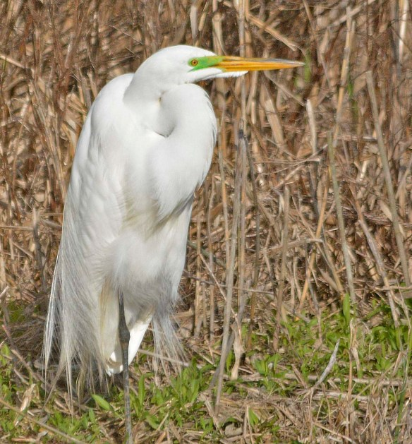 Great Egret 2019-11
