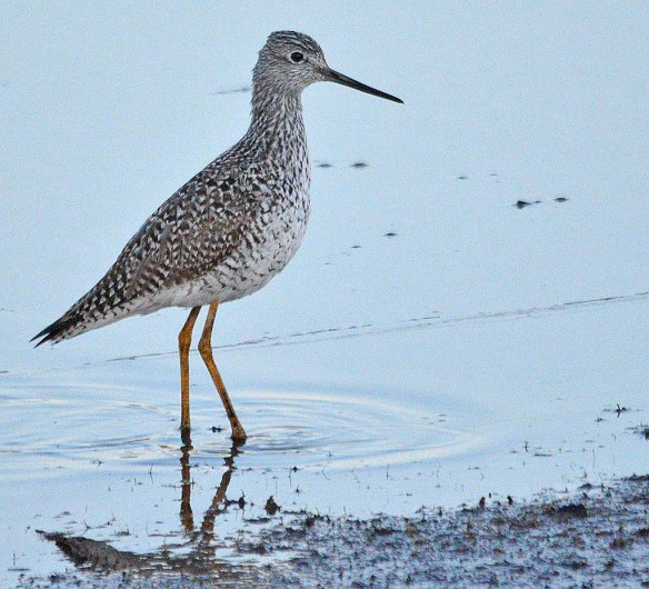 Greater Yellowlegs 2019-3