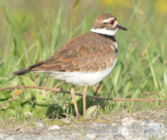 Killdeer 2019-1