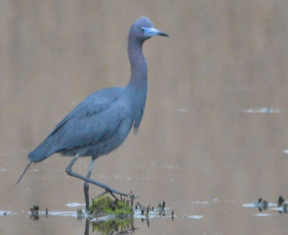 Little Blue Heron 2019-4