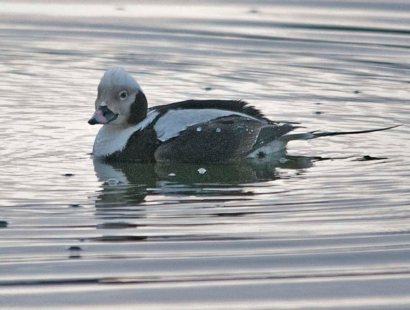 Long Tailed Duck 2019-46