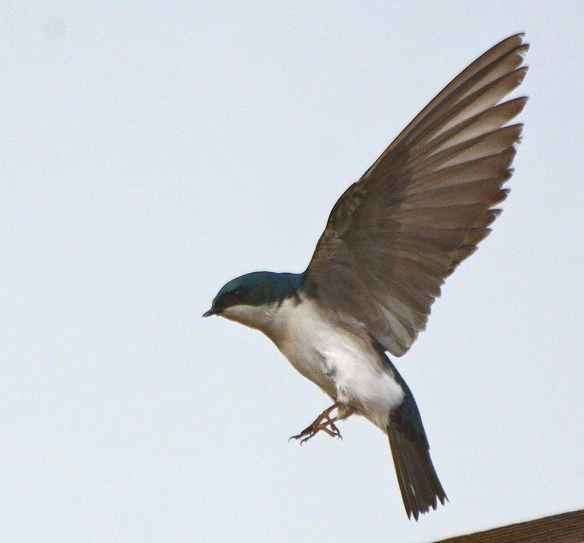 Tree Swallow 2019-5