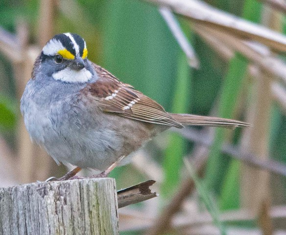 White Throated Ssparrow 2019-1