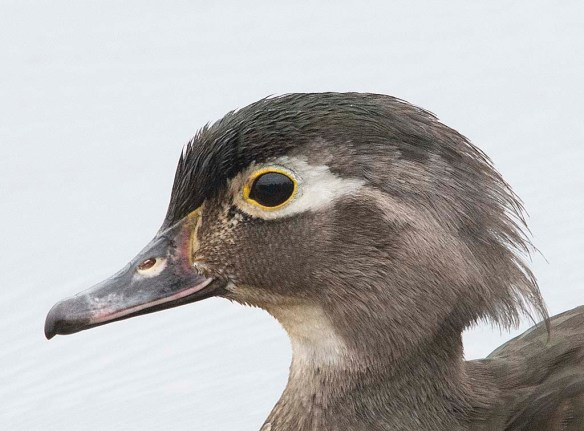Wood Duck 2019-49