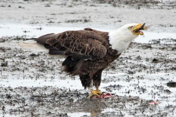 Bald Eagle 2019-28