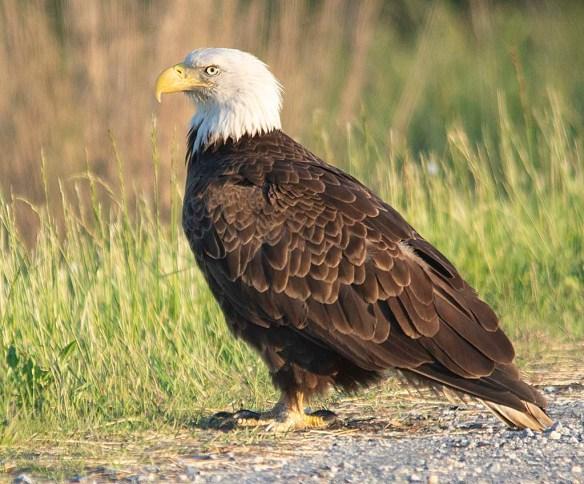 Bald Eagle 2019-30