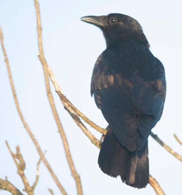Crow 2019-6