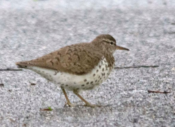 Spotted Sandpiper 2019-1