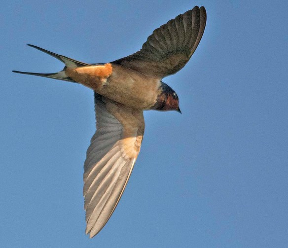 Barn Swallow 2019