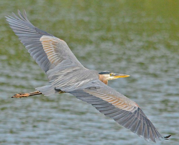 Great Blue Heron 2019-101