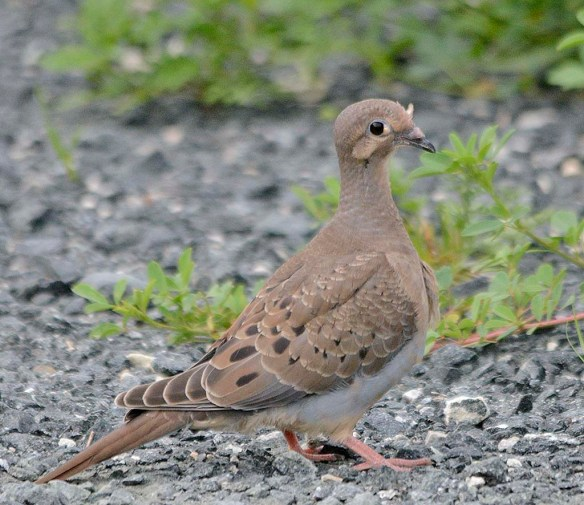 Mourning Dove 2019-1