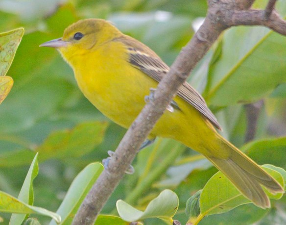 Orchard Oriole 2019-12