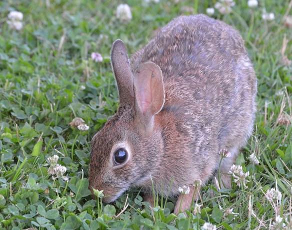Rabbit 32